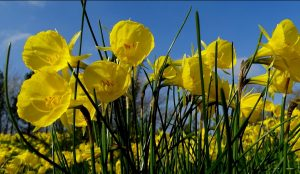 Narcissus bulbocodium con flores de color amarillo
