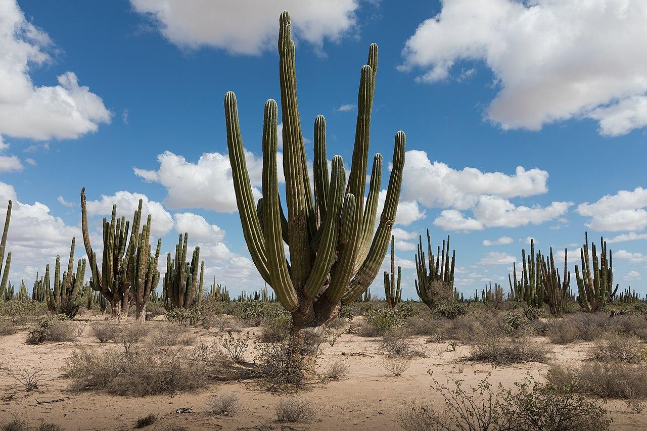 Pachycereus pringlei, el cardón o falso saguaro