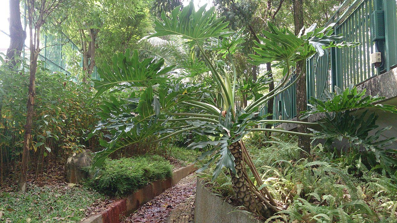 Philodendron bipinnatifidum. Se aprecian las raíces aéreas sujetando el tallo.