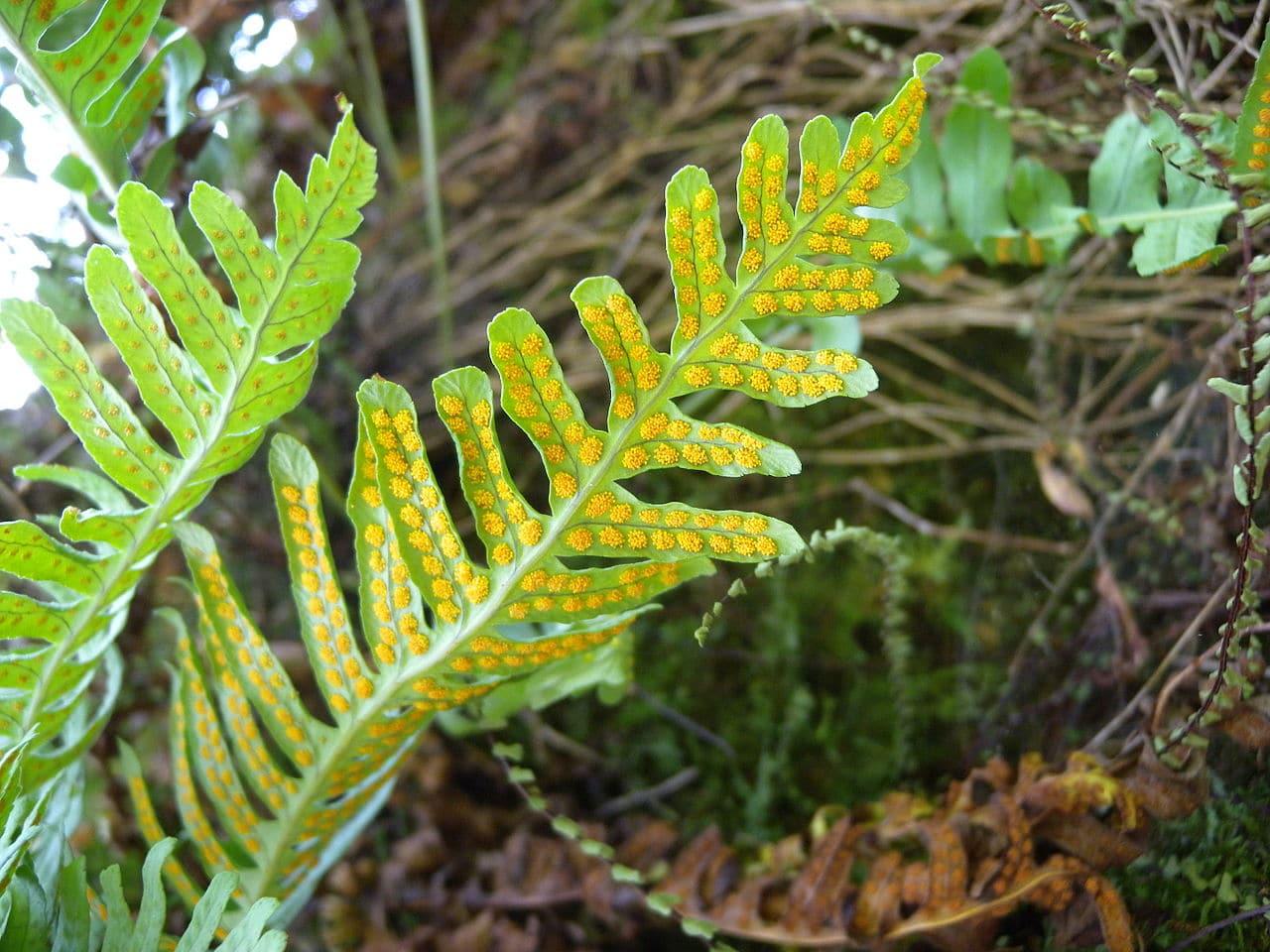 Los soros del Polypodium vulgares son redondeados