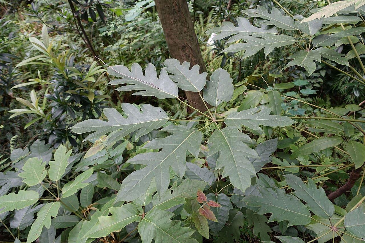 Schefflera delavayi, una de las chefleras más resistentes al frío