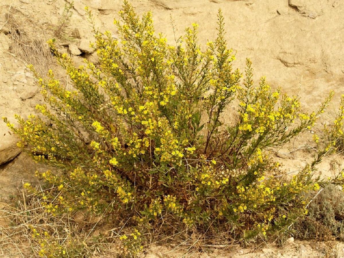 arbusto lleno de pequenas florecillas amarillas