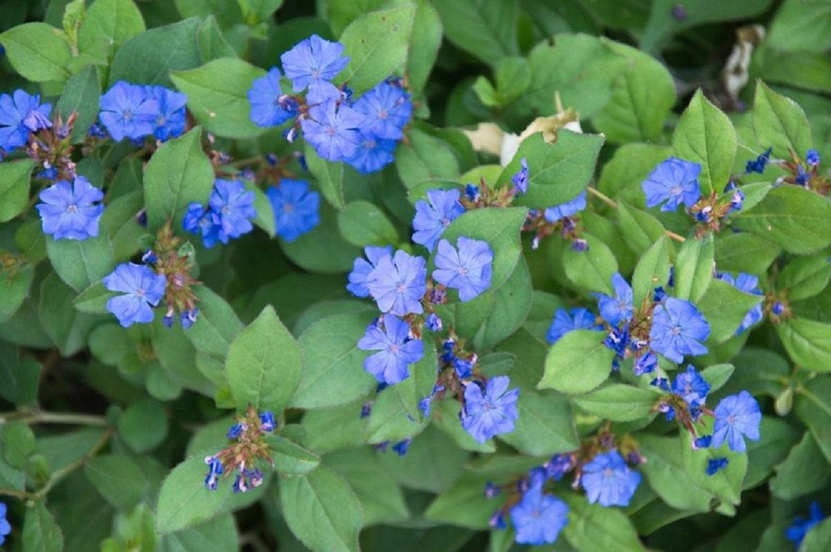 arbusto lleno de pequenas florecillas azules