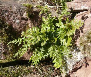 El Asplenium adiantum nigrum crece en las rocas