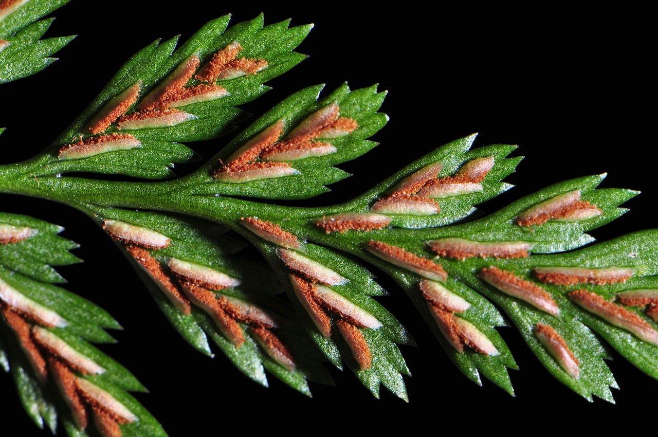 El Asplenium adiantum nigrum es un helecho