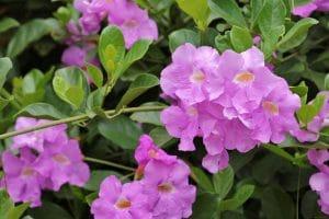 La Bignonia binata tiene flores moradas