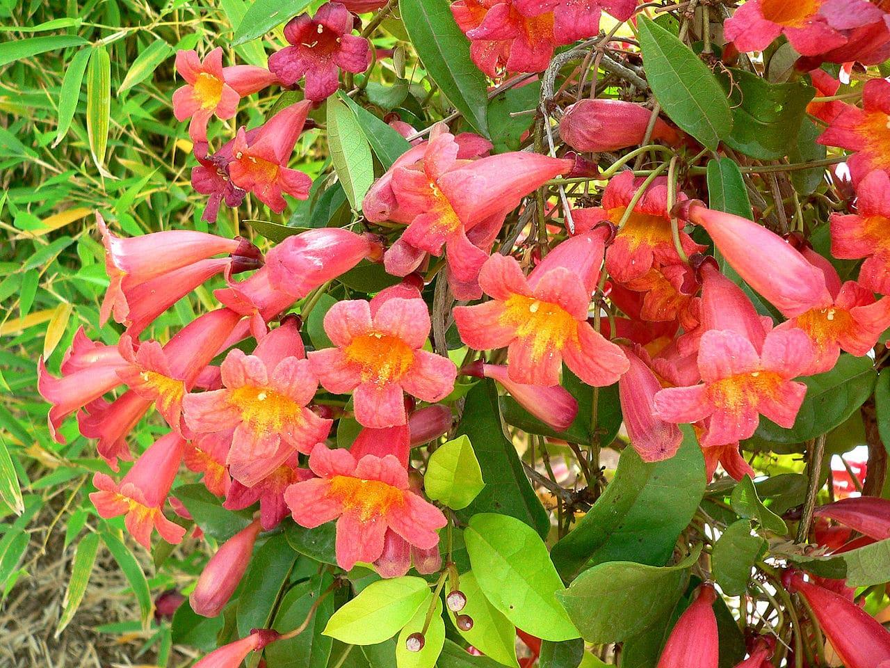 La Bignonia capreolata es una planta de flores rojas