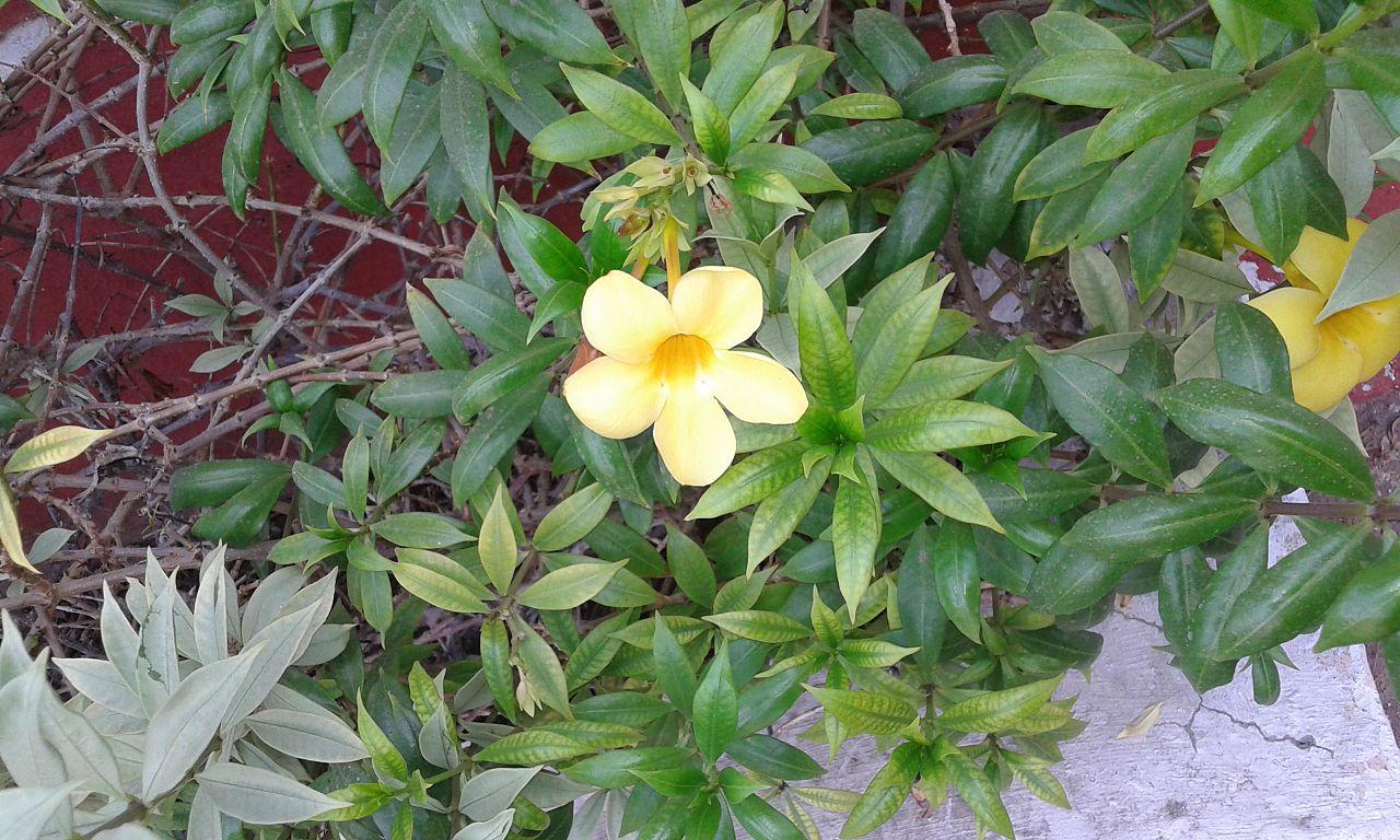 La bignonia es un género de plantas muy extenso