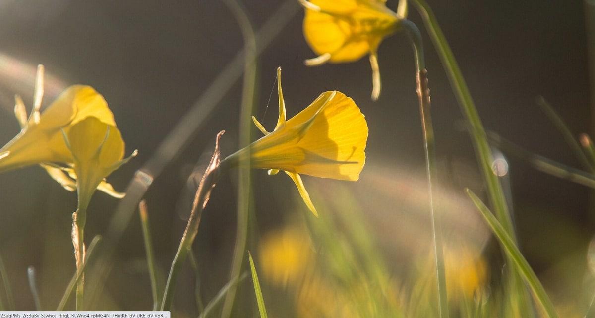 campo lleno de flores amarillas con forma de trompeta