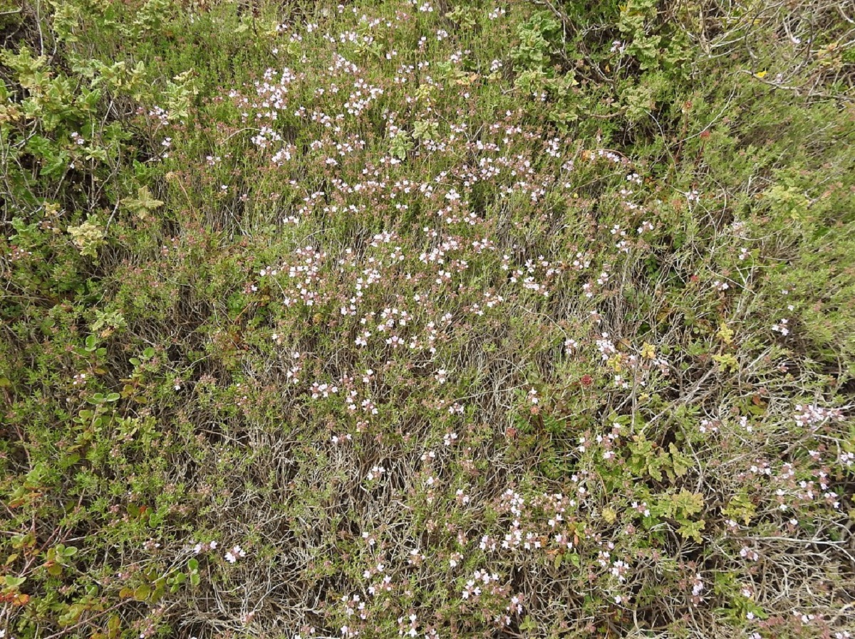 campo lleno de tomillo salsero o Thymus zygis