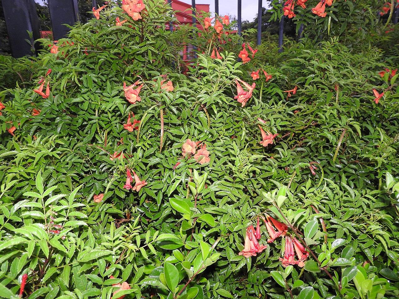 La Campsis grandiflora es una enredadera