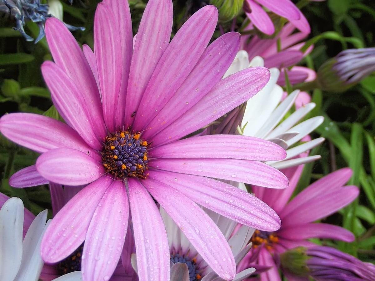 La dimorfoteca produce flores todo el año