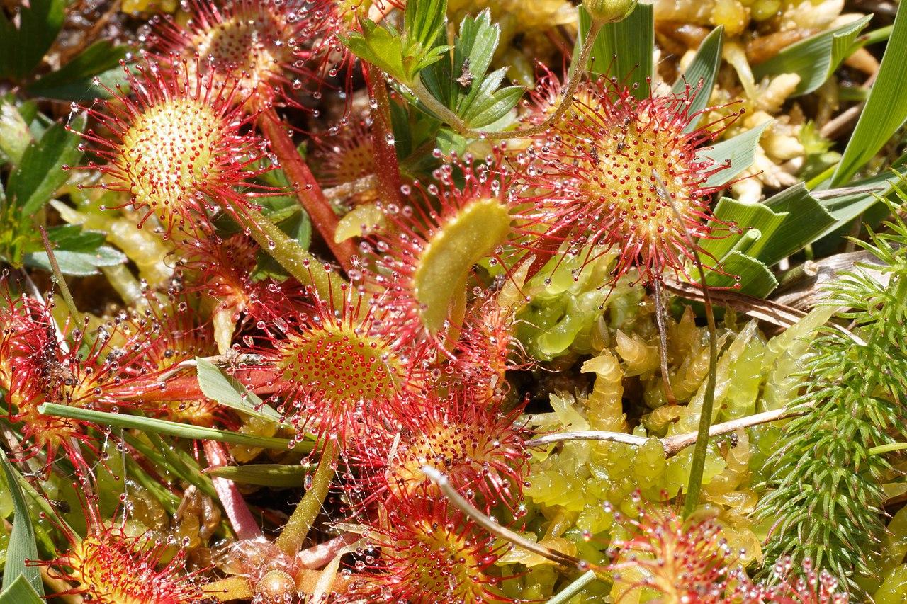 La Drosera rotundifolia forma rosetas planas