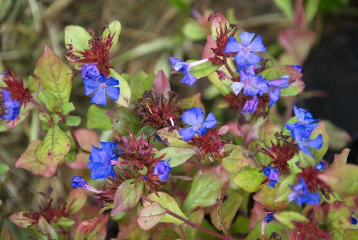 falso plumbago con flores azules