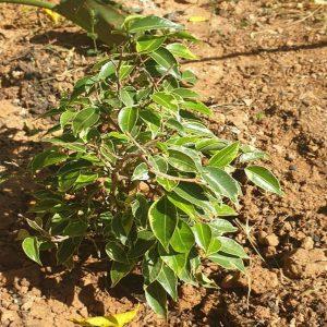 El Ficus benjamina Kinky es un árbol pequeño