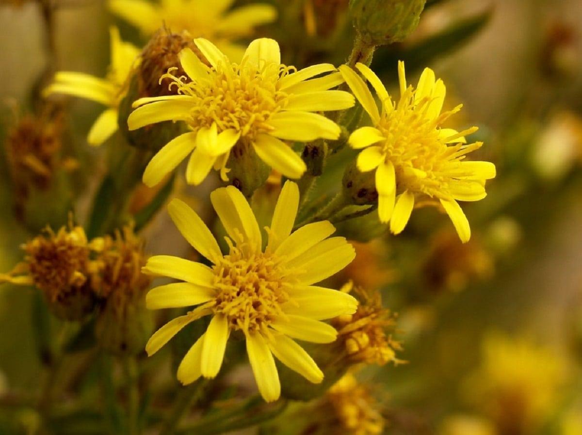 flor amarilla que se parece a las margaritas