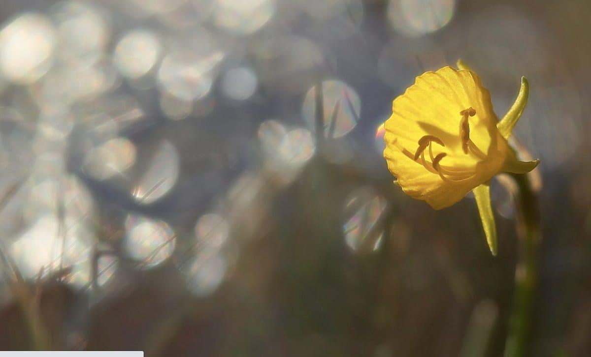 flor del Narcissus bulbocodium de color amarillo