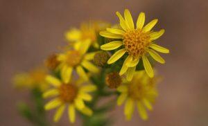 flores amarillas de la olivarda