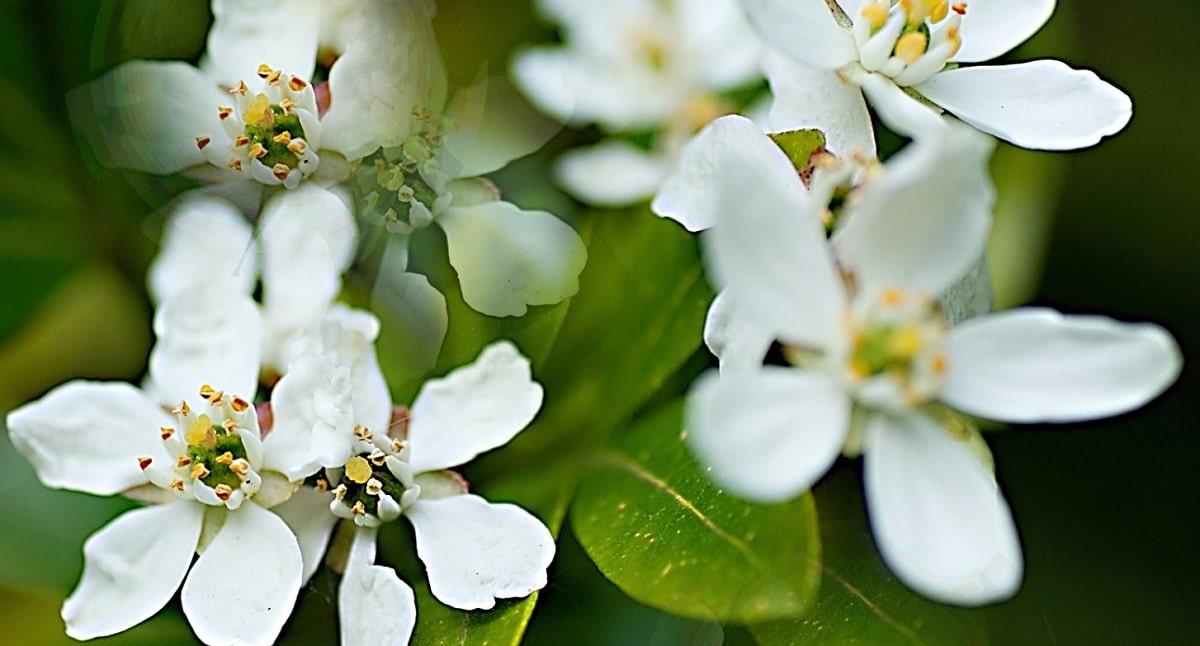 flores blancas con grandes petalos