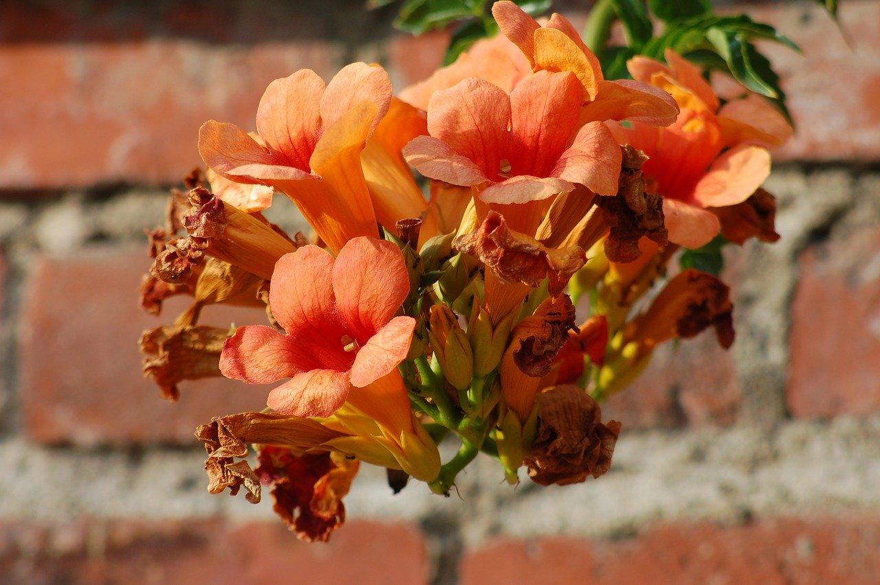 Las bignonias son enredaderas que producen numerosas flores