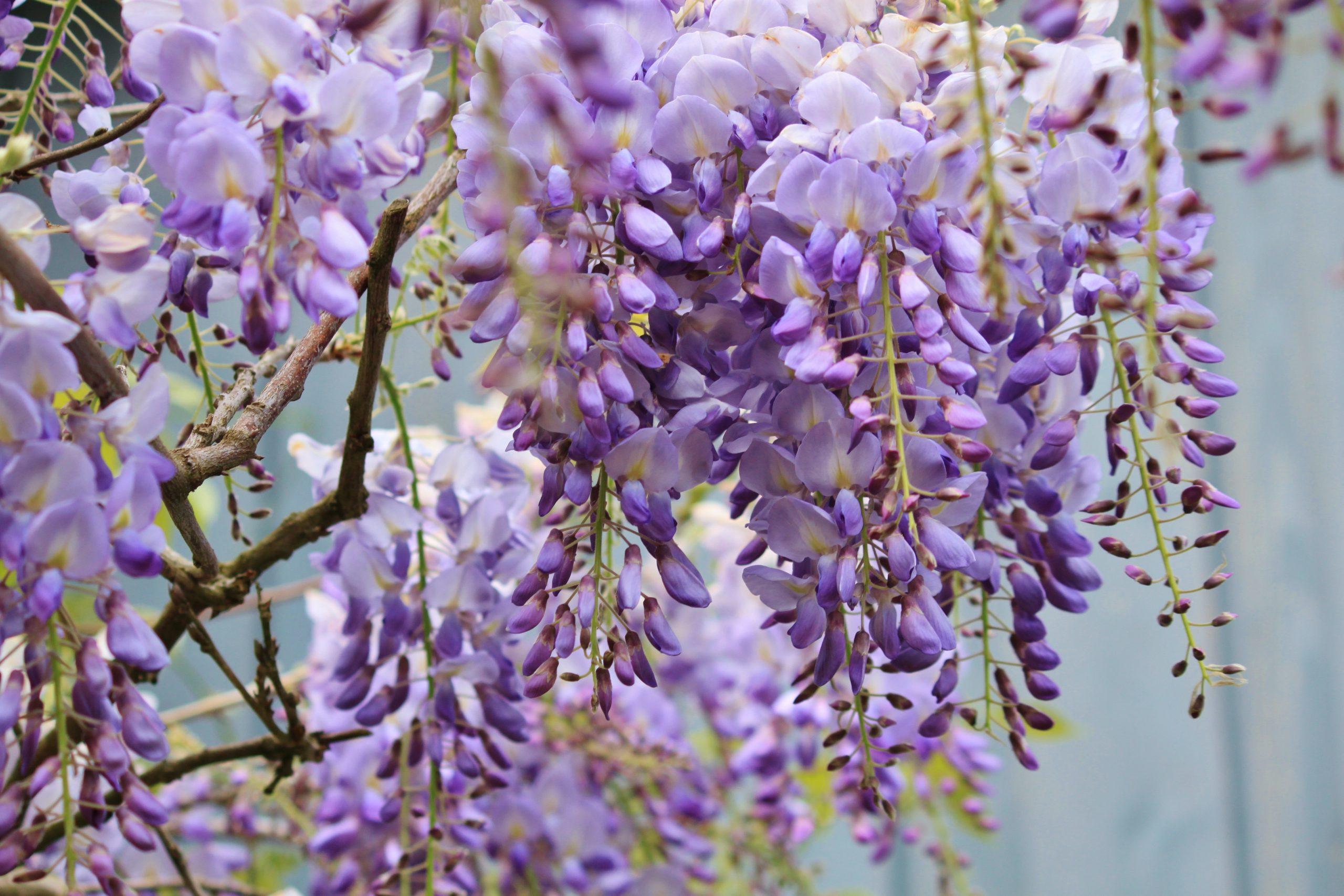 La wisteria es una trepadora de exterior