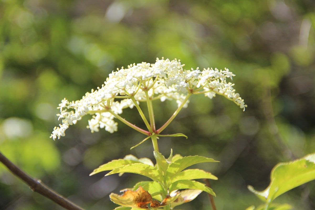 flores del sauco