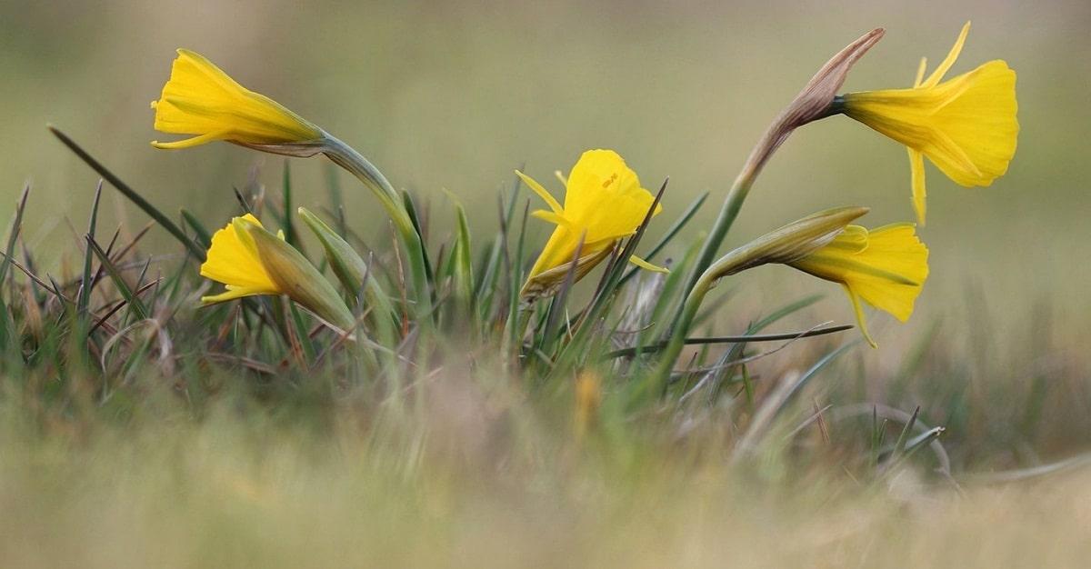 foto tomada de cerca de unos narcisos de color amarillo
