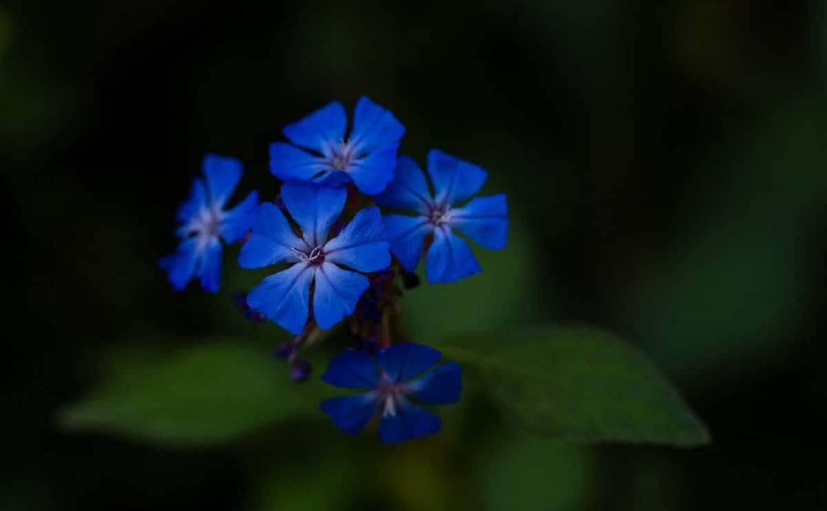 fotografia de las flores azules del Ceratostigma plumbaginoides