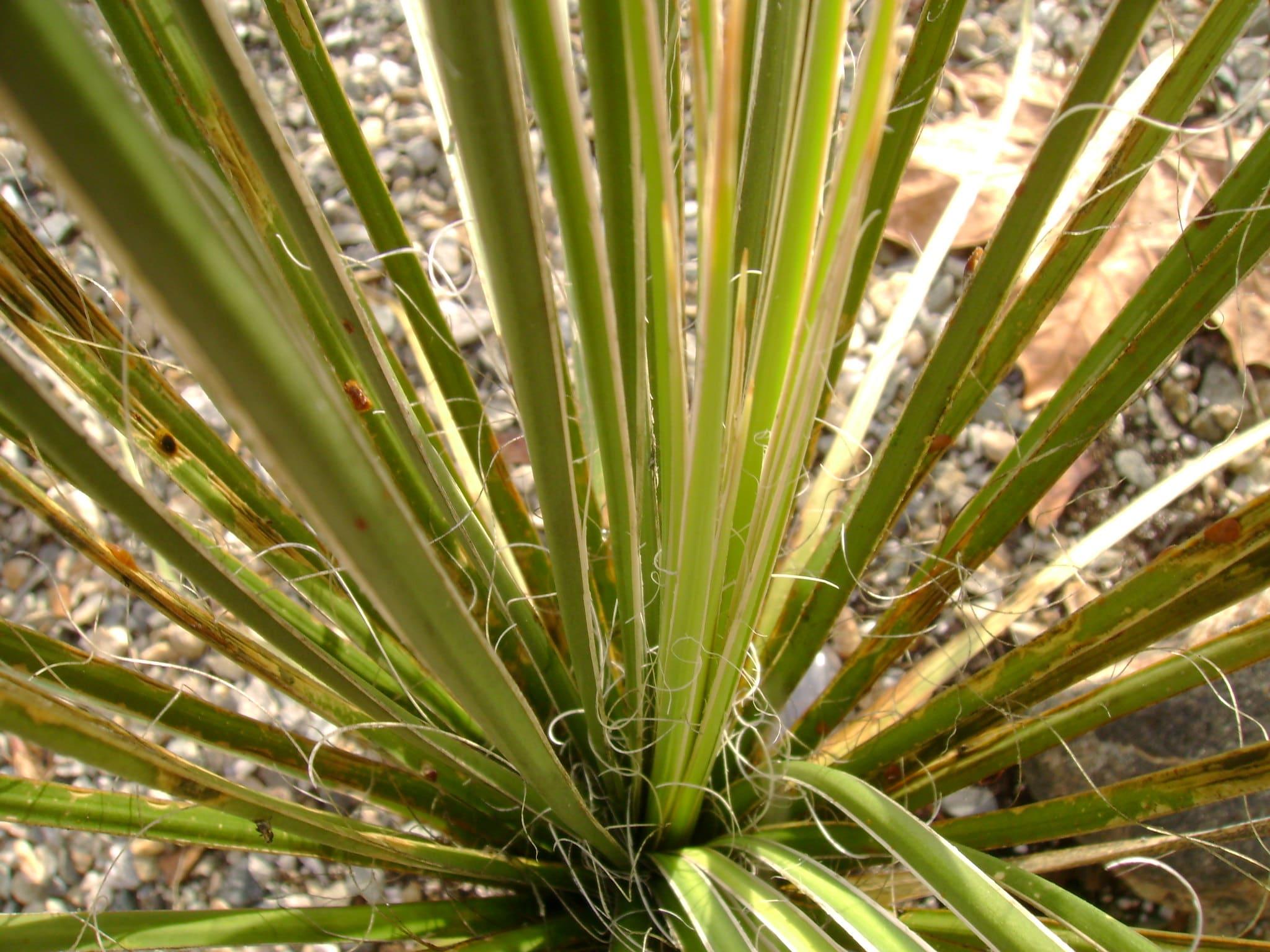 La Yucca elata tiene las hojas verdes