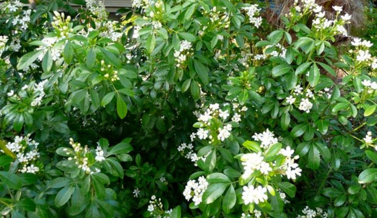 jardin con arbusto plantado llamado Choisya ternata