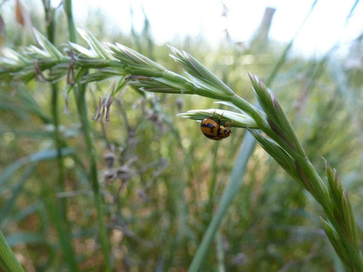 maleza en plantas de cereales