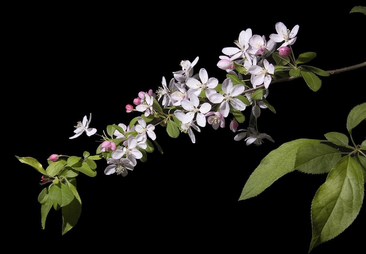 El Malus floribunda florece en primavera