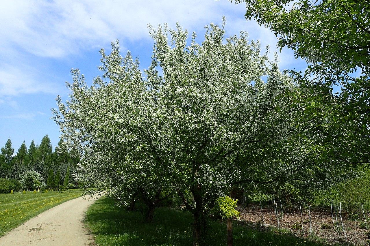 El Malus floribunda es un árbol caducifolio