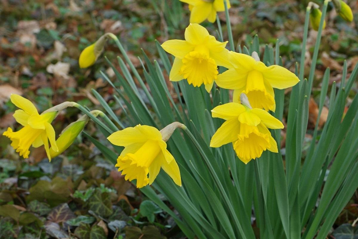 narcissus pseudonarcissus flores
