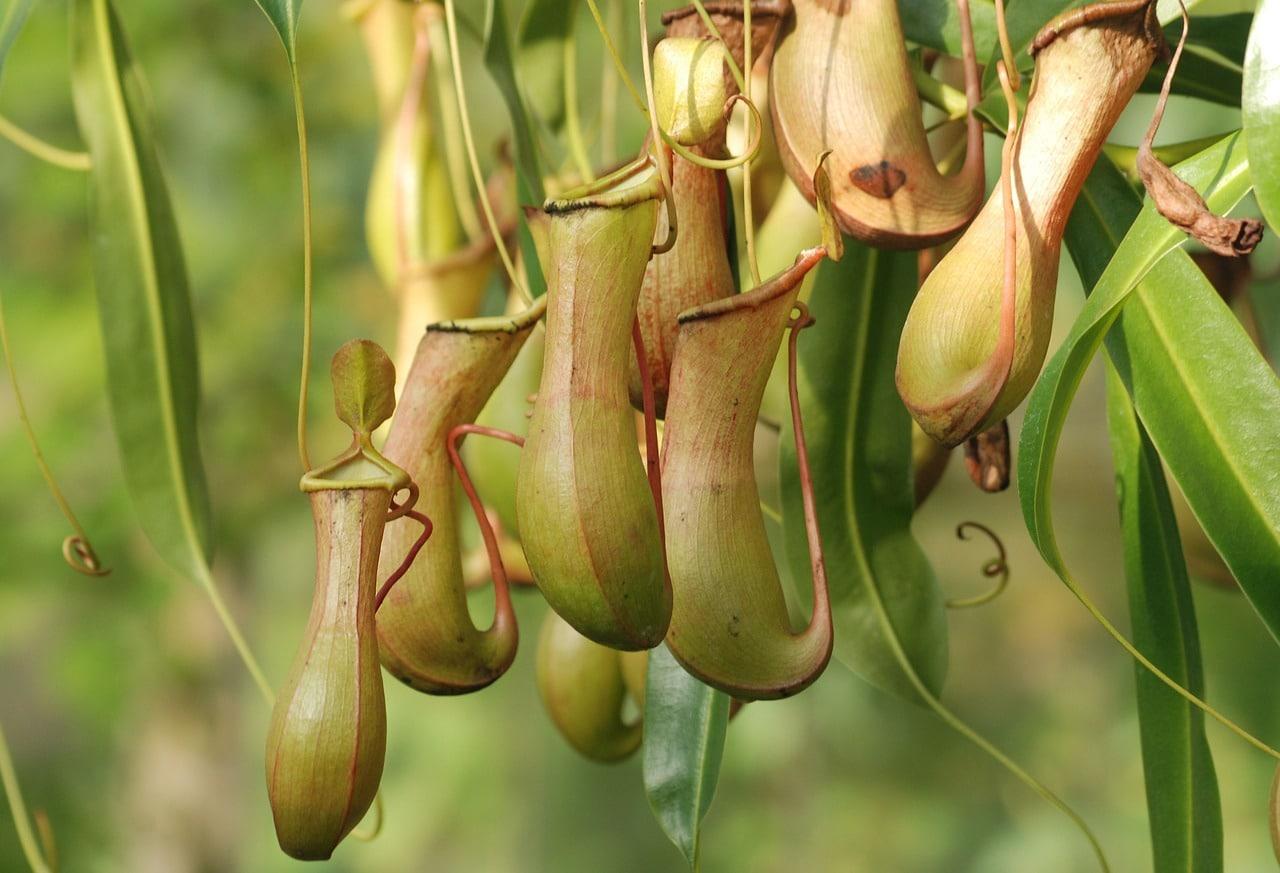 Las nepenthes se alimentan de insectos