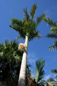La palmera alejandra es esbelta