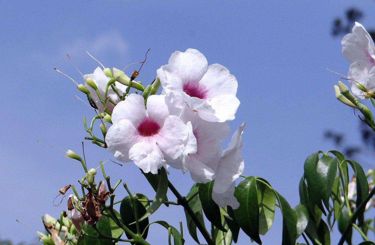La Pandorea jasminoides es una planta de flores blancas