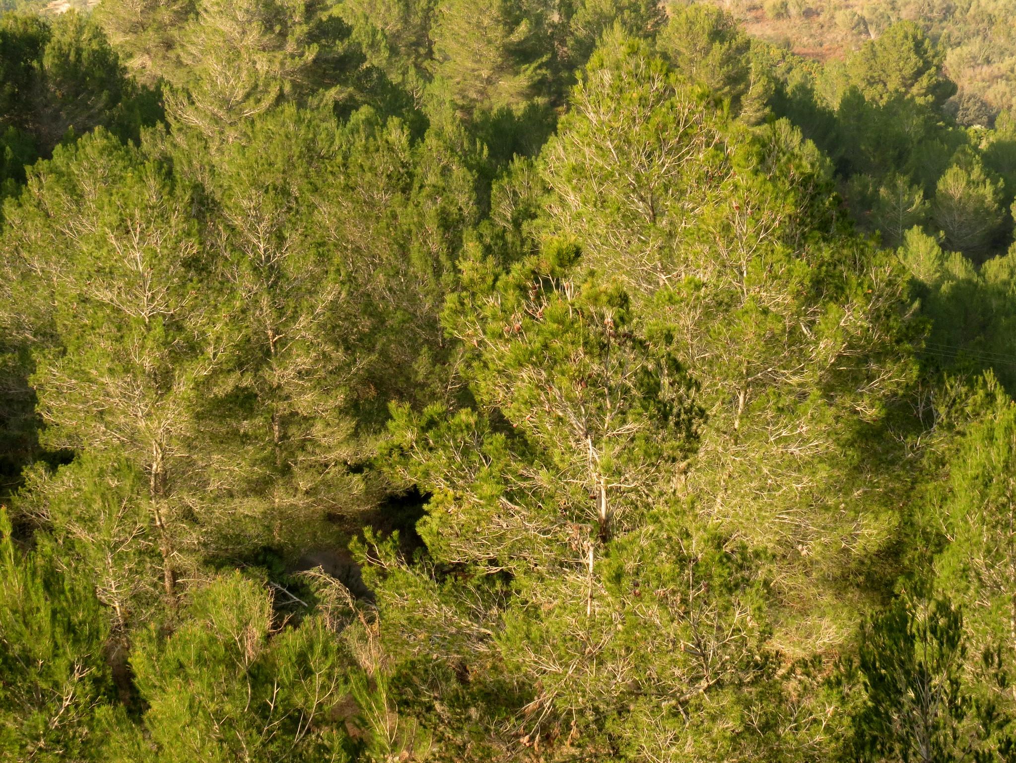 El pino es una conífera