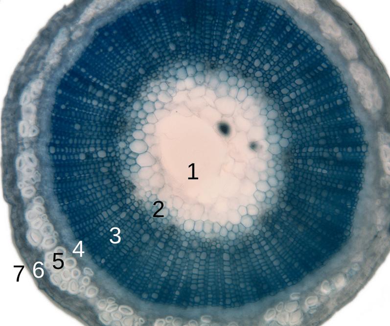 Las plantas pueden tener xilema y floema