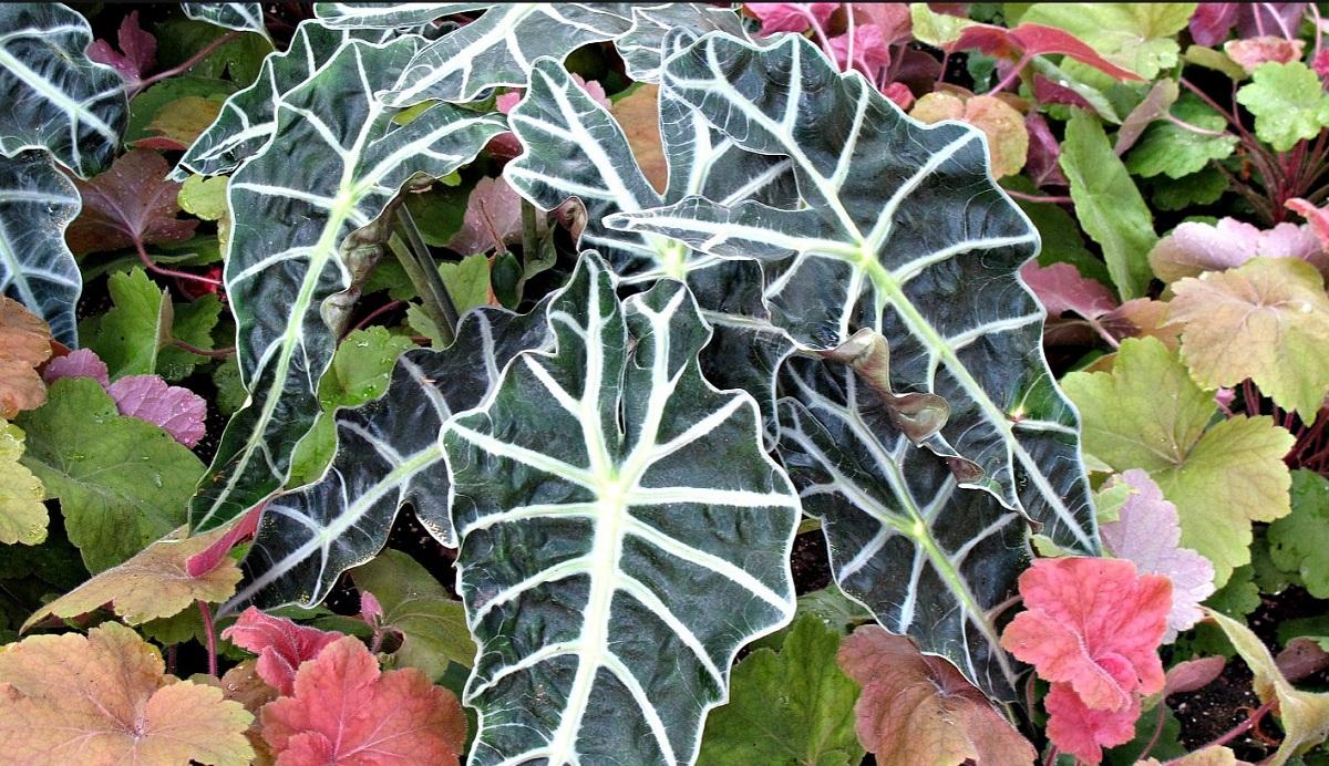Alocasia polly, planta con hojas que parecen las orejas de un elefante