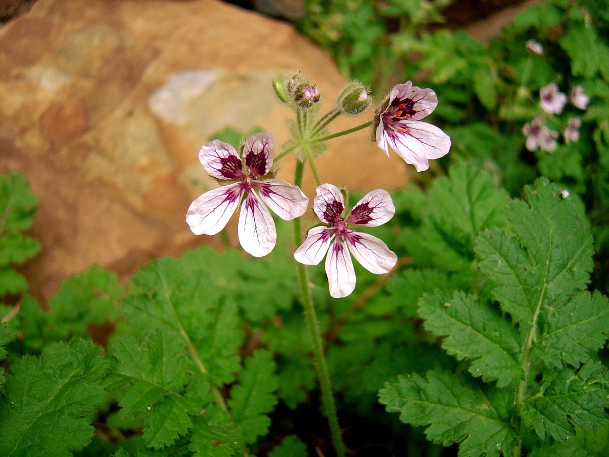 plantas del genero erodium