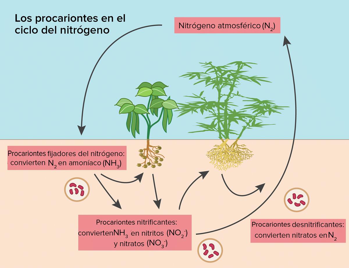 plantas y ciclo del nitrogeno