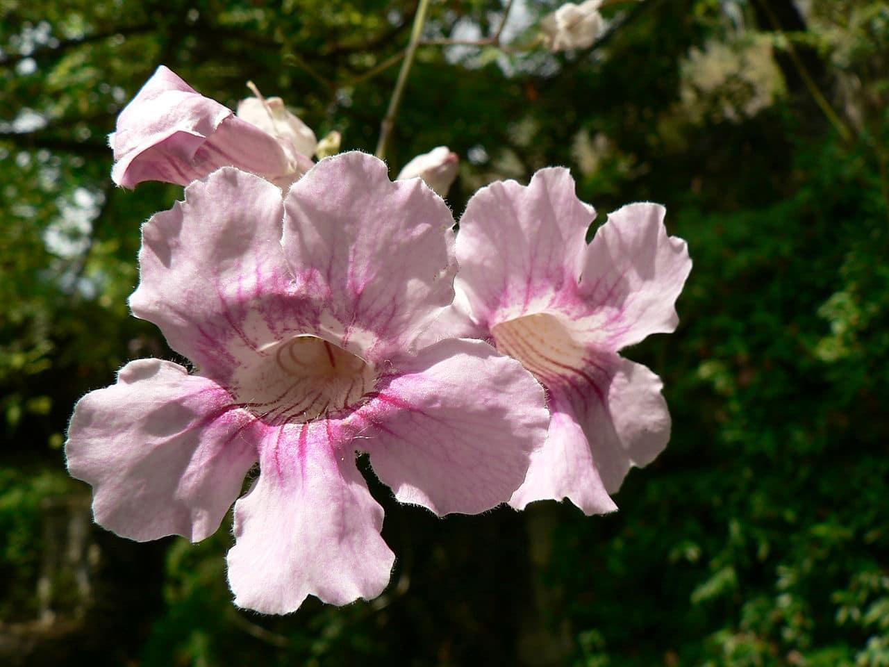 La Podranea ricasoliana tiene flores rosas