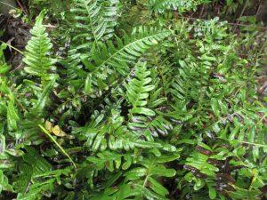 El Polypodium vulgare es una planta perenne