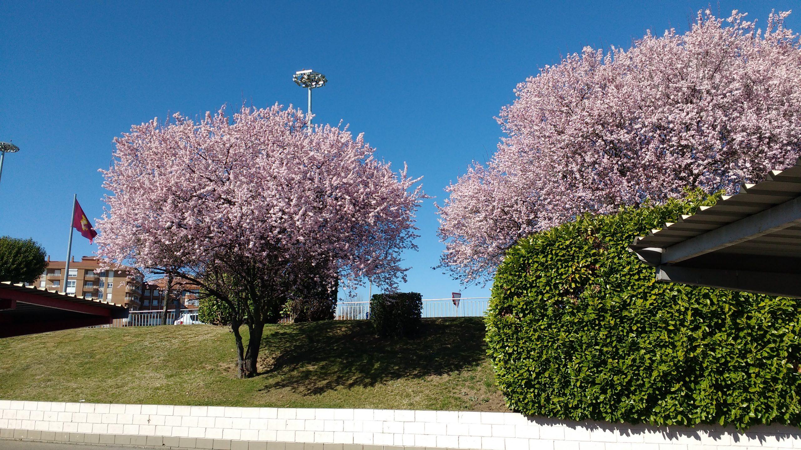 El Prunus cerasifera tiene flores en primavera
