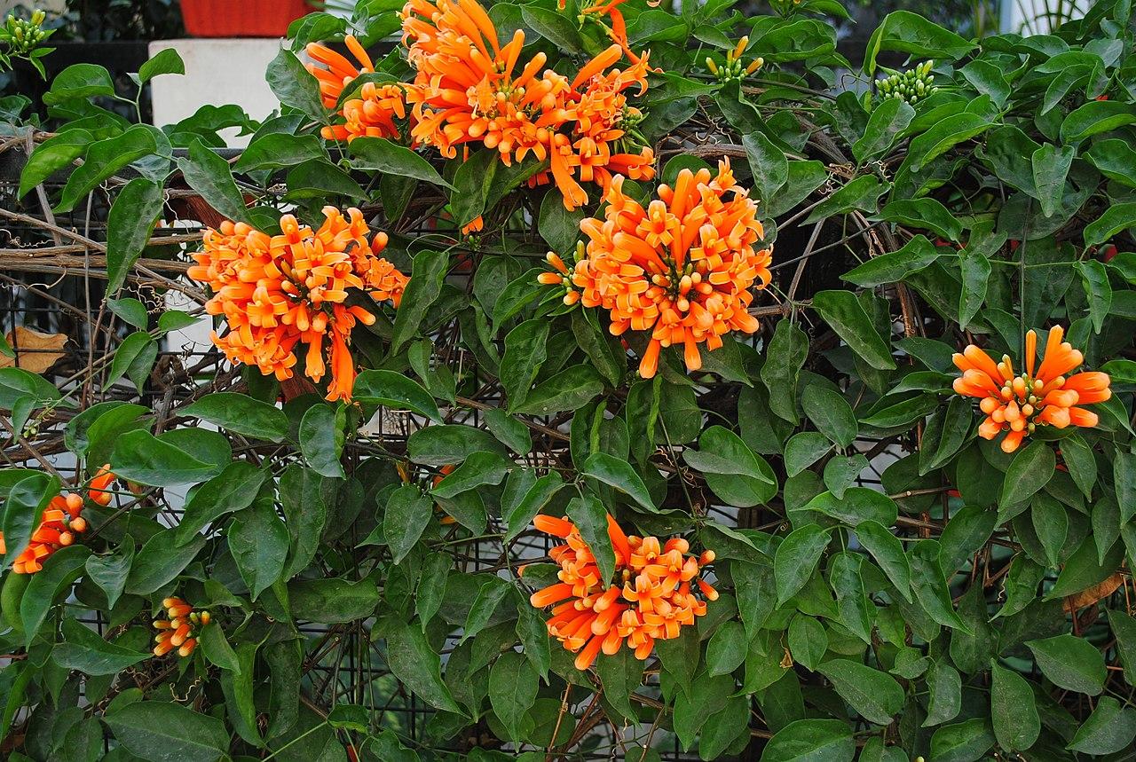 La Pyrostegia venusta es una planta de flores naranjas