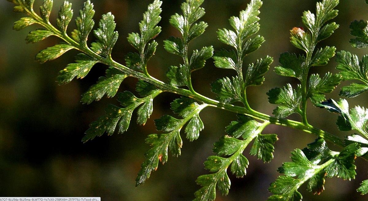rama verde y humeda de la Asplenium billotii