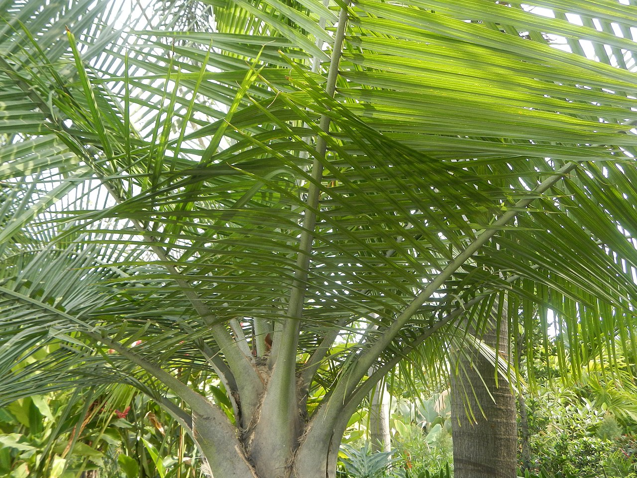 La Ravenea rivularis es una palmera de aspecto tropical