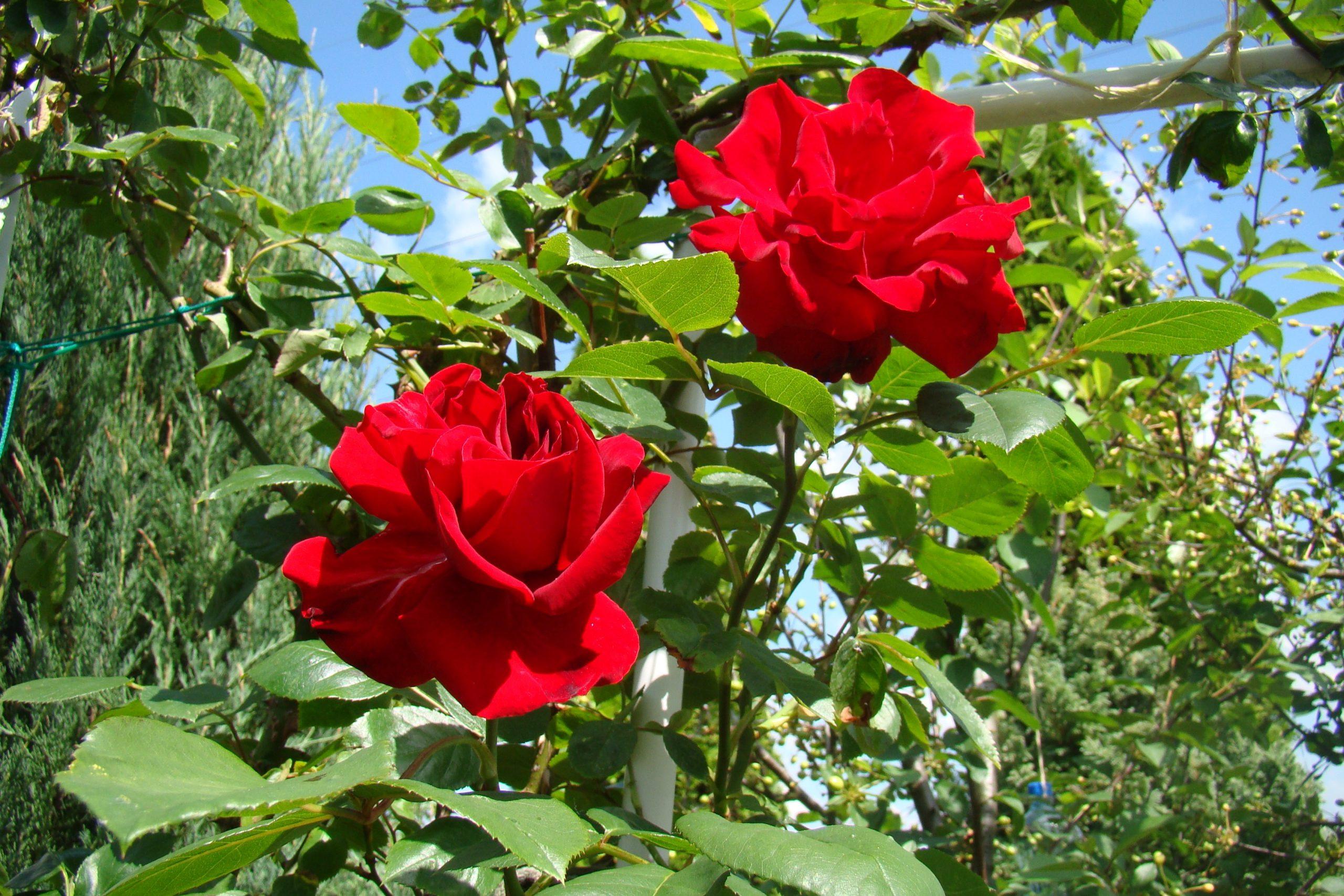 El rosal es un arbusto que produce muchas flores todo el año