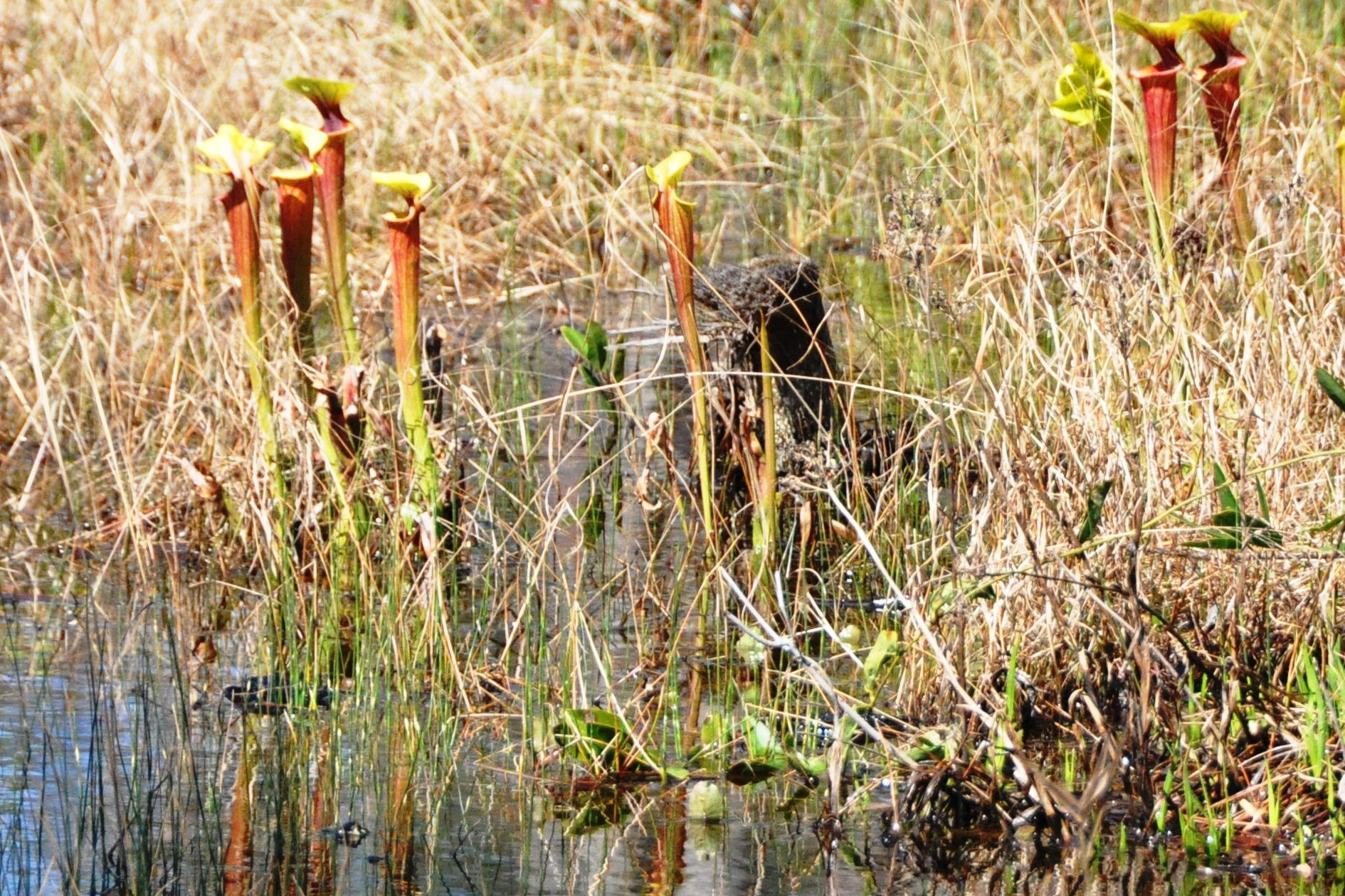 La Sarracenia crece en los Estados Unidos